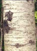 Quaking Aspen Bark