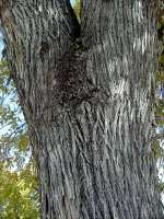 Arizona Ash Bark