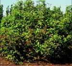 Redosier Dogwood Tree
