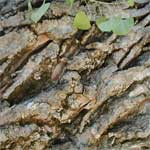 Fremont Cottonwood Bark