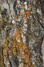 Gamble Oak Bark
