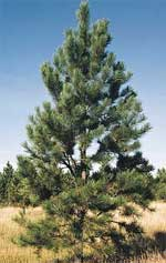 Ponderosa Pine Tree New Mexico New Mexico Trees