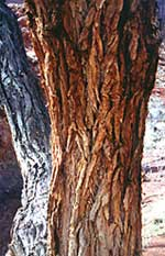 Rio Grande Cottonwood Bark